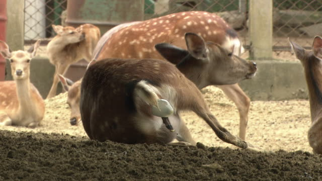 A Female Sika Deer Giving Birth