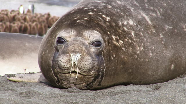 cu female southern elephant seal with runny nose and eye infection / south georgia island, sub-antarctic region, british territory, antarctica   - seal animal stock videos and b-roll footage