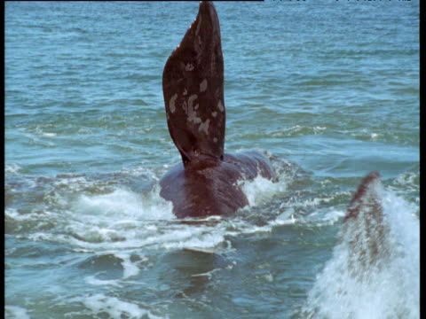 female southern right whale rolls and floats at surface as males attempt to mate with her, patagonia - sidoflik bildbanksvideor och videomaterial från bakom kulisserna