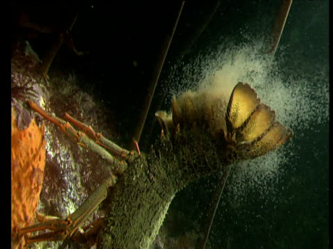 female spiny lobster raises tail and releases thousands of eggs into sea at night, goat island, new zealand - lobster stock videos & royalty-free footage