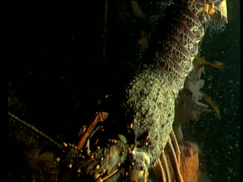 female spiny lobster raises tail and releases thousands of eggs into the sea at night, goat island, new zealand - lobster stock videos & royalty-free footage