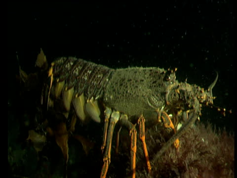 Female spiny lobster raises tail and releases thousands of eggs into the sea at night, Goat Island, New Zealand