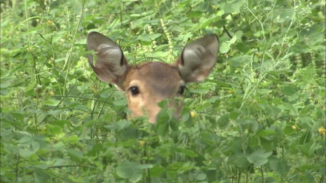 female spotted deer hiding in lush foliage, alert - medium shot - animal hair stock videos & royalty-free footage