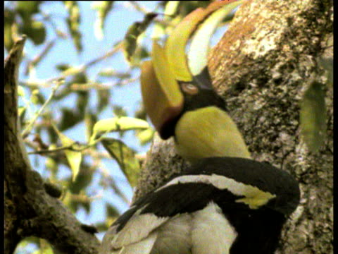 Female squeezes into very tight nest hole in tree trunk, Indonesia