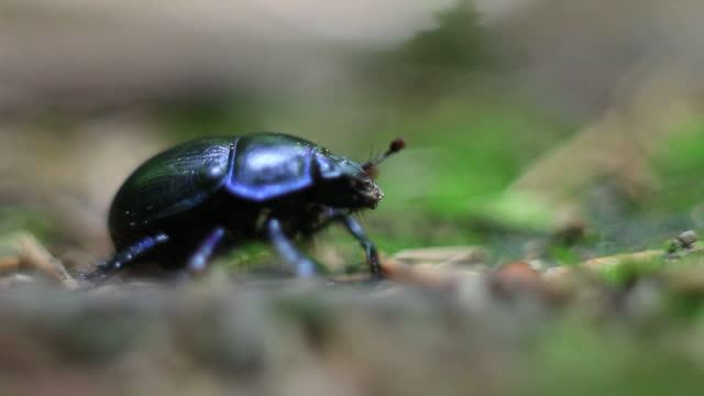 HD Female Stag Beetle in Forest