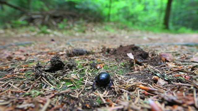 Female stag beetle in forest
