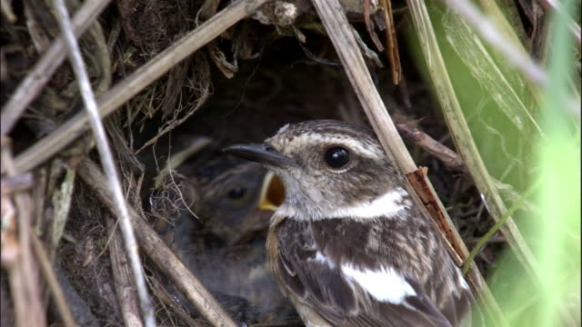 Female stonechat feeds chicks in nest, Changbaishan National Nature Reserve, Jilin Province, China