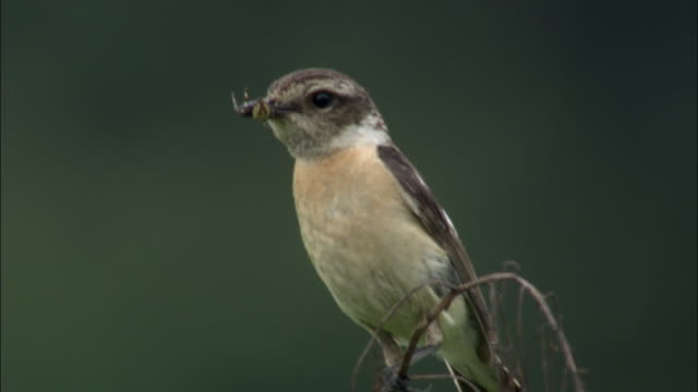 female stonechat (saxicola torquata) perched on twig with fly in beak, changbaishan national nature reserve, jilin province, china - twig stock videos & royalty-free footage