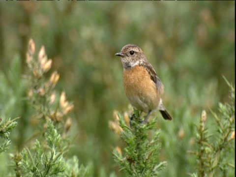 female stonechat shimmies and wobbles on gorse bush - ニューバリー点の映像素材/bロール
