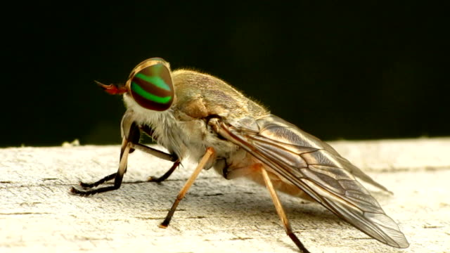 female striped horse fly - green eyes stock videos and b-roll footage