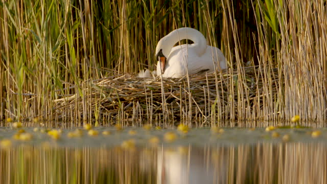 female swan sitting on her nest at the edge of a lake with tall reeds - reed grass family stock videos & royalty-free footage