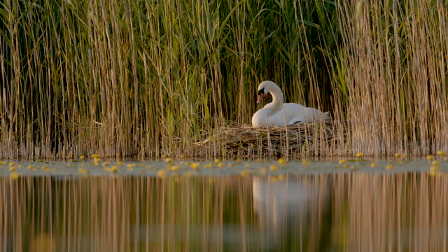 female swan sitting on her nest at the edge of a lake with tall reeds - ネイチャーズウィンドウ点の映像素材/bロール