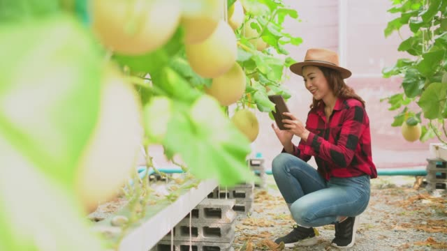 Female taking the photo of grown cantaloupe on plant