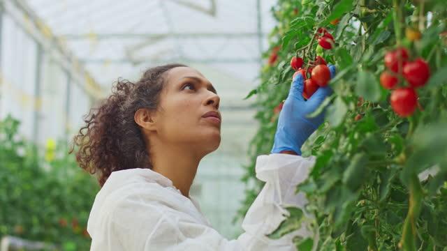 ハイテク温室でトマト植物をチェックする女性技術者 - グリーンハウス点の映像素材/bロール