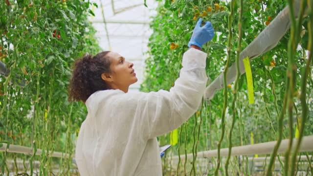 温室を歩きながらデジタルタブレットを持ち、植物をチェックする女性技術者 - グリーンハウス点の映像素材/bロール