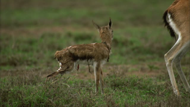 pan, ms, female thomson's gazelle (eudorcas thomsoni) licking newborn fawn, serengeti national park, tanzania - fawn stock videos and b-roll footage