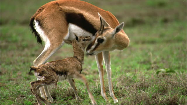 pan, ms, tu, td, female thomson's gazelle (eudorcas thomsoni) licking newborn fawn, serengeti national park, tanzania - fawn stock videos & royalty-free footage