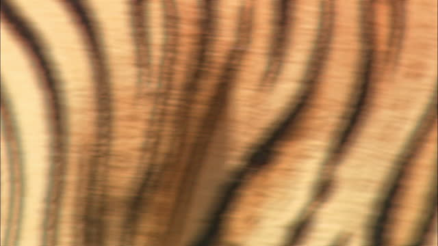 a female tiger walking / closeup of her body / ranthambore national park - close up stock videos & royalty-free footage