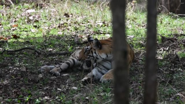 a female tigress sitting in a shade to beat the heat on a hot summer day during a wildlife safari - safari india stock videos and b-roll footage