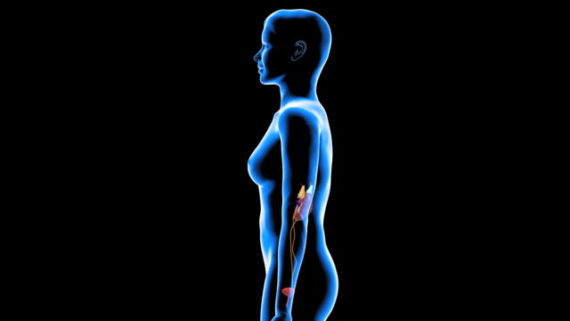female urinary system - weibliche figur stock-videos und b-roll-filmmaterial