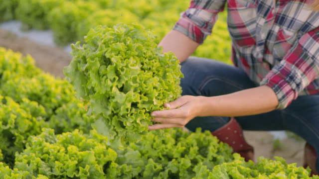 MD Female vegetable grower analyzing lettuce growth