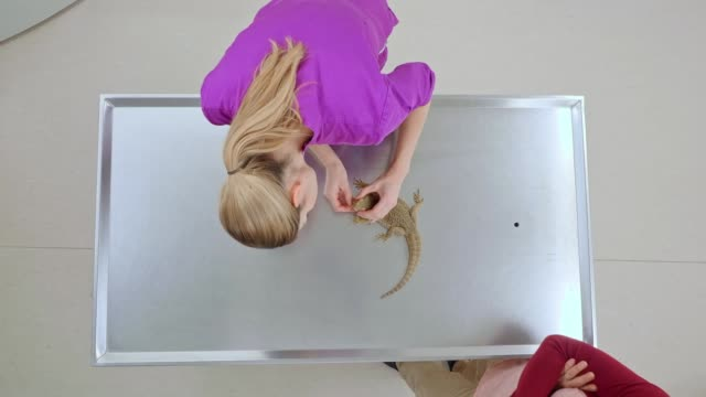 ld female vet doing an examination of the bearded dragon - examination table stock videos & royalty-free footage