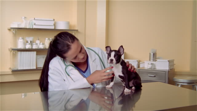cu, female veterinarian and boston terrier puppy on examination table - examination table stock videos & royalty-free footage