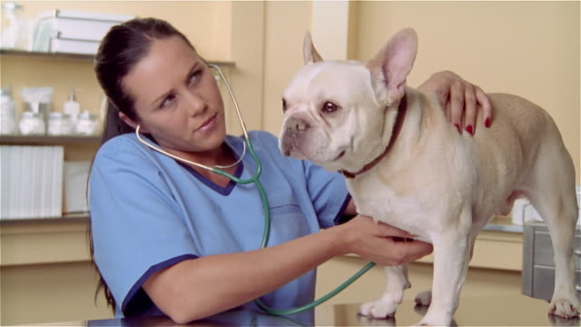 cu, zi, female veterinarian examining french bulldog with stethoscope - french bulldog stock videos and b-roll footage