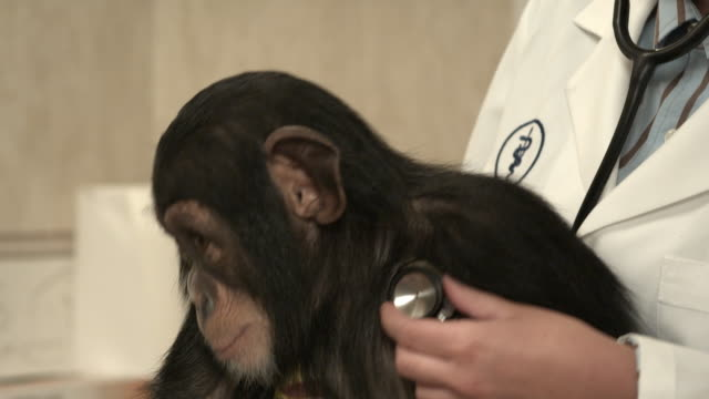 cu, female veterinarian examining young chimpanzee, newhall, california, usa - veterinarian stock videos & royalty-free footage