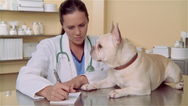 cu, female veterinarian writing prescription, french bulldog lying on examination table - examination table stock videos & royalty-free footage