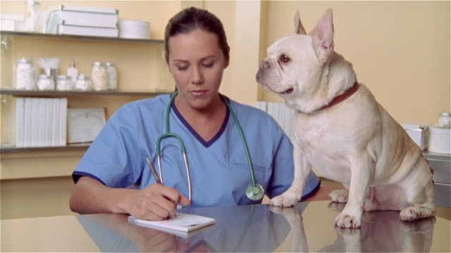 cu, female veterinarian writing prescription, french bulldog sitting on examination table - french bulldog stock videos and b-roll footage