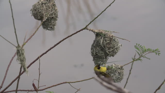 female village weaver flies up to nest with blade of grass in her mouth and looks inside before flying off to branch, kruger national park, south africa - blade of grass点の映像素材/bロール