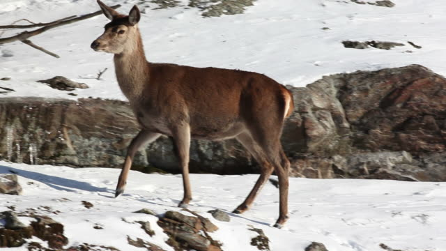 female wapiti in the mountain - snow cornice stock videos and b-roll footage