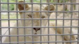Female white lion in a cage.