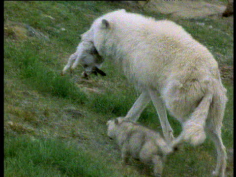 female wolf carries arctic hare over rocks with pup following. pup feeds on carcass, ellesmere island, canada. - sdraiato video stock e b–roll