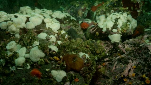Female wolf eel among rocks.