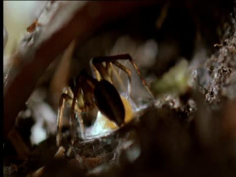 vidéos et rushes de female wolf spider covers egg mass with silk - cocon
