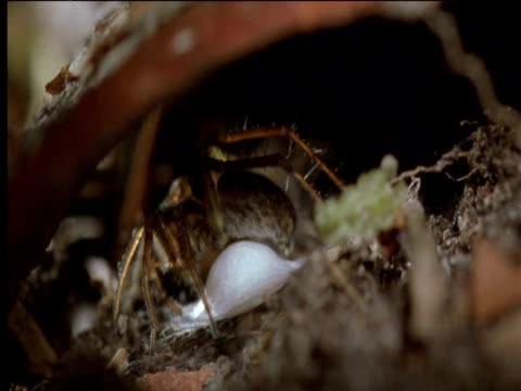 Female wolf spider covers egg mass with silk