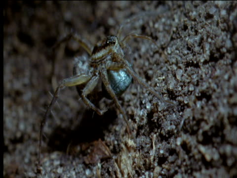 female wolf spider wraps her egg mass with silk - silk stock videos and b-roll footage