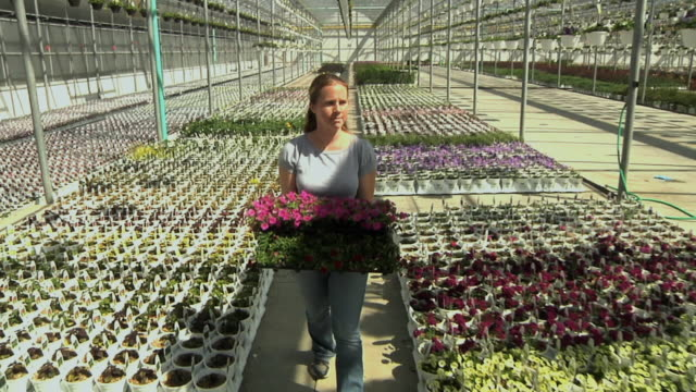 MS DS Female worker carrying nursery plants through commercial greenhouse, Carleton, Michigan, USA