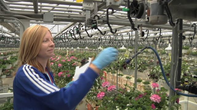 ms female worker checking hanging baskets of flowering plants passing through automatic watering station at commercial greenhouse, carleton, michigan, usa - greenhouse stock videos & royalty-free footage