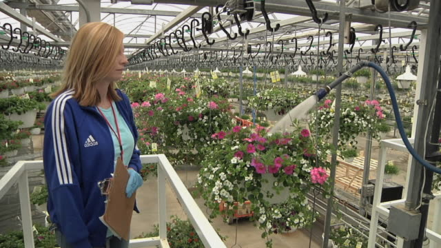 ms female worker checking hanging baskets of flowering plants passing through automatic watering station at commercial greenhouse, carleton, michigan, usa - 園芸学点の映像素材/bロール