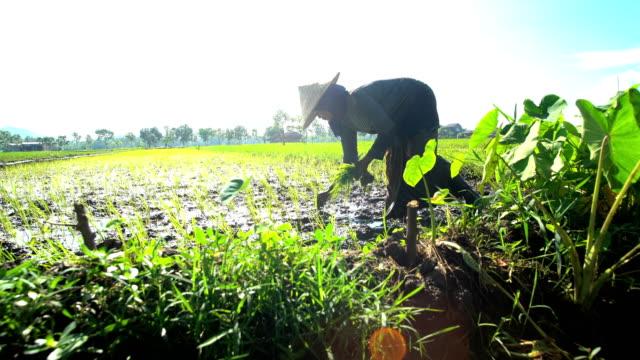 female worker planting seedlings in rice field java - investment stock videos & royalty-free footage