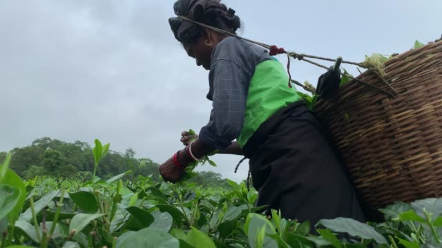 female worker plucks tea leaves in a tea garden in baksa district of assam on 14 september 2020. there are more than 850 tea estates and more than... - lavoratore emigrante video stock e b–roll