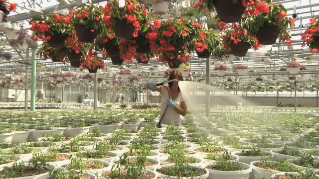 slo mo zo ws female worker watering nursery plants in commercial greenhouse, carleton, michigan, usa - greenhouse stock videos & royalty-free footage