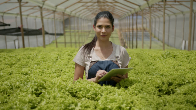 vídeos de stock e filmes b-roll de female worker working at a lettuce crop in a greenhouse and using a digital tablet while checking crop and facing camera - alface