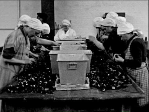 1938 b/w ms female workers working in factory, peeling and separating fruits / pomerania, germany - telecamera traballante video stock e b–roll