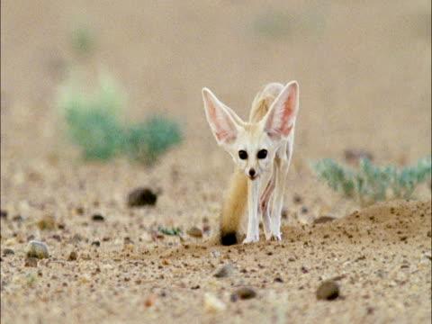 Fennec fox (Vulpes zerda) leaves den in desert, Niger