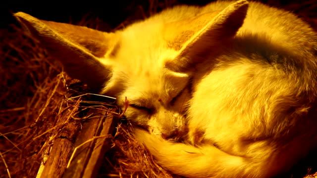 vídeos y material grabado en eventos de stock de zorro fenec - pelo de animal