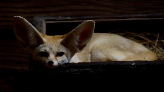 fennec fox - human ear stock videos & royalty-free footage